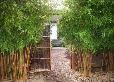 Bamboo Used As A Privacy Hedge Along The Street With Fence And Gate Behind Phyllostachys Aureosulcata Spectablis Curly 15 To 18 Feet High
